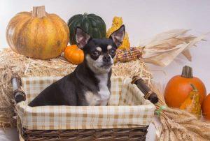 dog with pumpkins on a basket