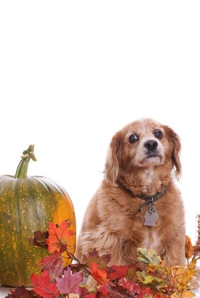 dog-and-pumpkin-diet2
