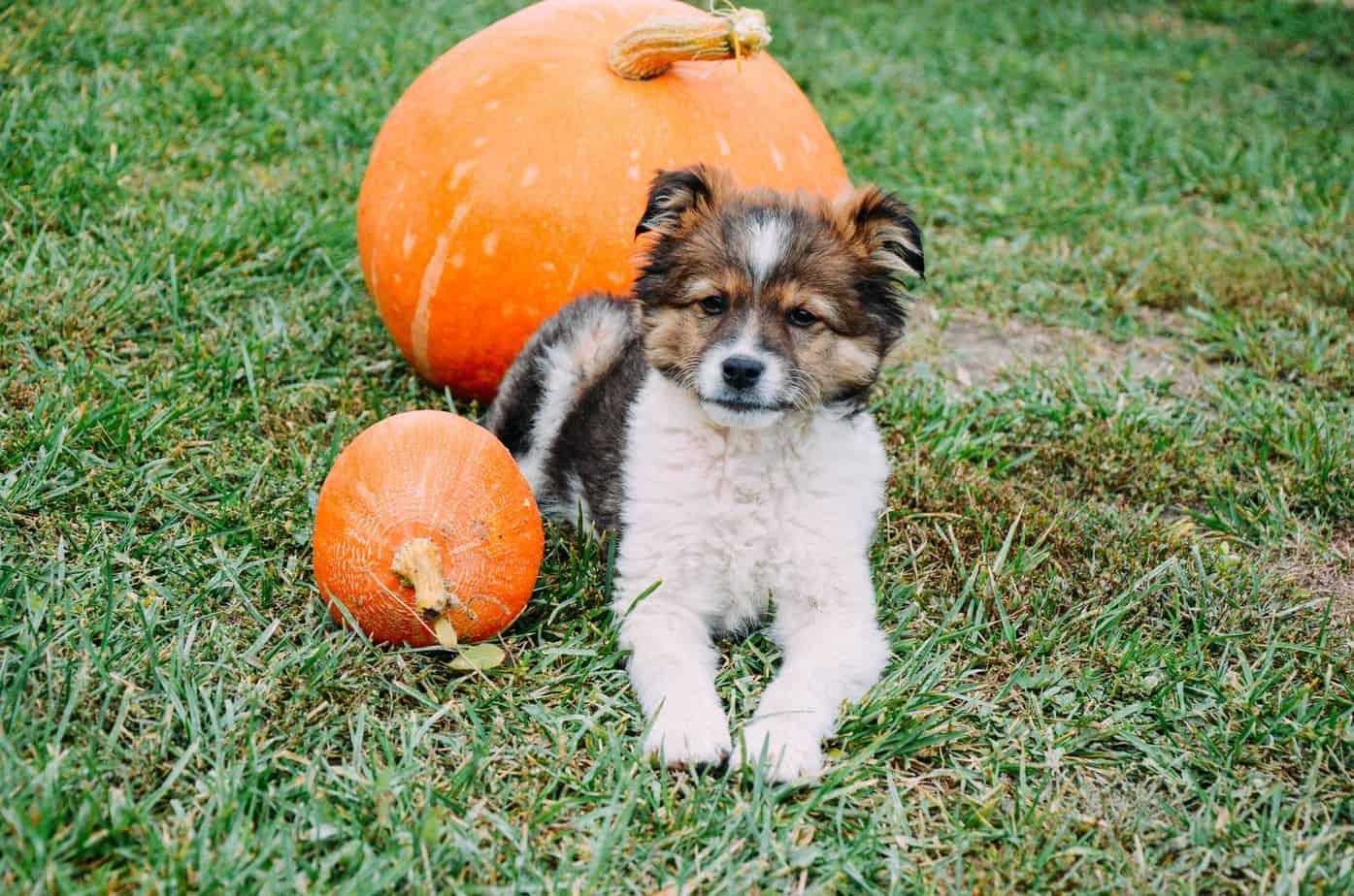 fluffy-puppy-with-pumpkin-on-a-grass