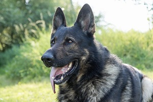 german-shepherd-dog-with-sticking-out-tongue 300x200
