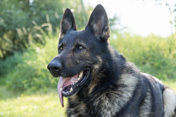 german-shepherd-dog-with-sticking-out-tongue