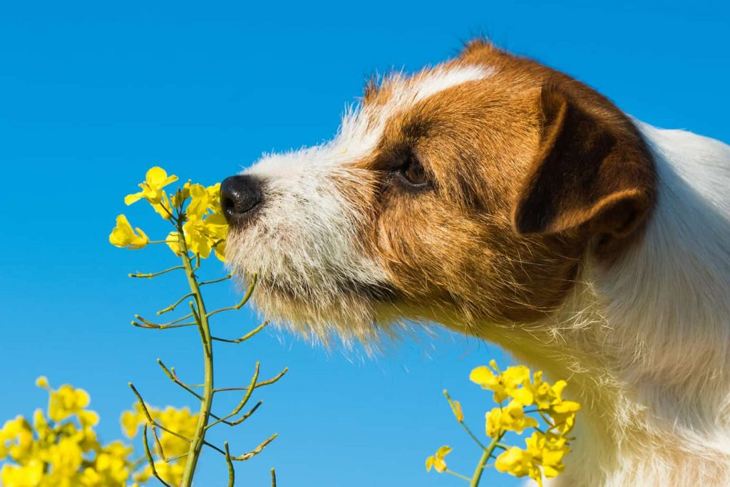 jack-russell-dog-sniffing-yellow-wraps-flowers