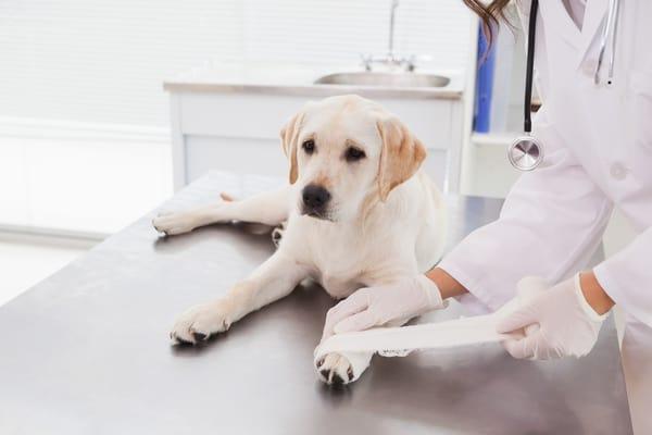 vet-doing-a-bandage-at-dog